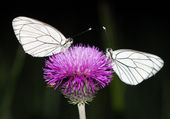 Two butterflies sit on a flower — Stock Photo