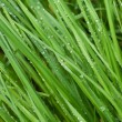Dew drops on a green grass - Stock Photo
