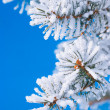 Pine branches in the snow — Stock Photo #2636782