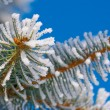 Pine branches in the snow — Stock Photo