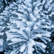 Frost on the spruce branches — Stock Photo