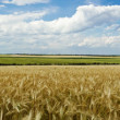 Panoramic view of wheat field — Stockfoto