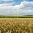 Panoramic view of wheat field — Stock fotografie