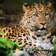 Stock Photo: Leopard resting on ground