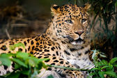Leopard resting on ground — Stock Photo
