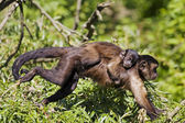 Mum monkey carrying baby monkey — Stock Photo