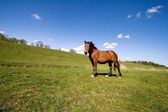 Brown horse on the meadow — Stock Photo