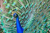 Peacock Courtship — Stock Photo