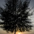 Stock Photo: Pine in sunset