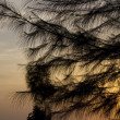 Stockfoto: Pine in sunset