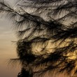 Foto Stock: Pine in sunset