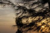 Pine in sunset — Stock Photo