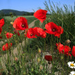 Poppy red — Stock Photo #2489968