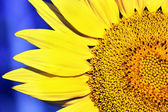 Sunflower on a dark blue background — Stock Photo