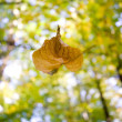Stock Photo: A falling leaf in autumn