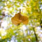 A falling leaf in autumn — Stock Photo