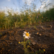 Lonely daisy flower outside the field - Stock Photo
