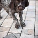 Puppy dog walking — Stock Photo #2494785