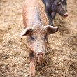 glad piggies — Stockfoto