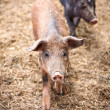 piggies felice — Foto Stock