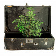 Old Suitcase with Tree Inside - Stock Photo