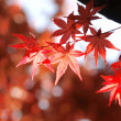 Maple leaves — Stock Photo