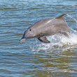Dolphin — Stock Photo #2453491