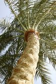Date palm tree from Egypt — Stock Photo