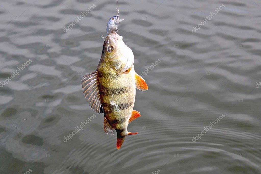 striped bass bit the jig lure — stock photo © macushka #2511421, Hard Baits
