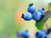 Wild Blueberries — Stock Photo