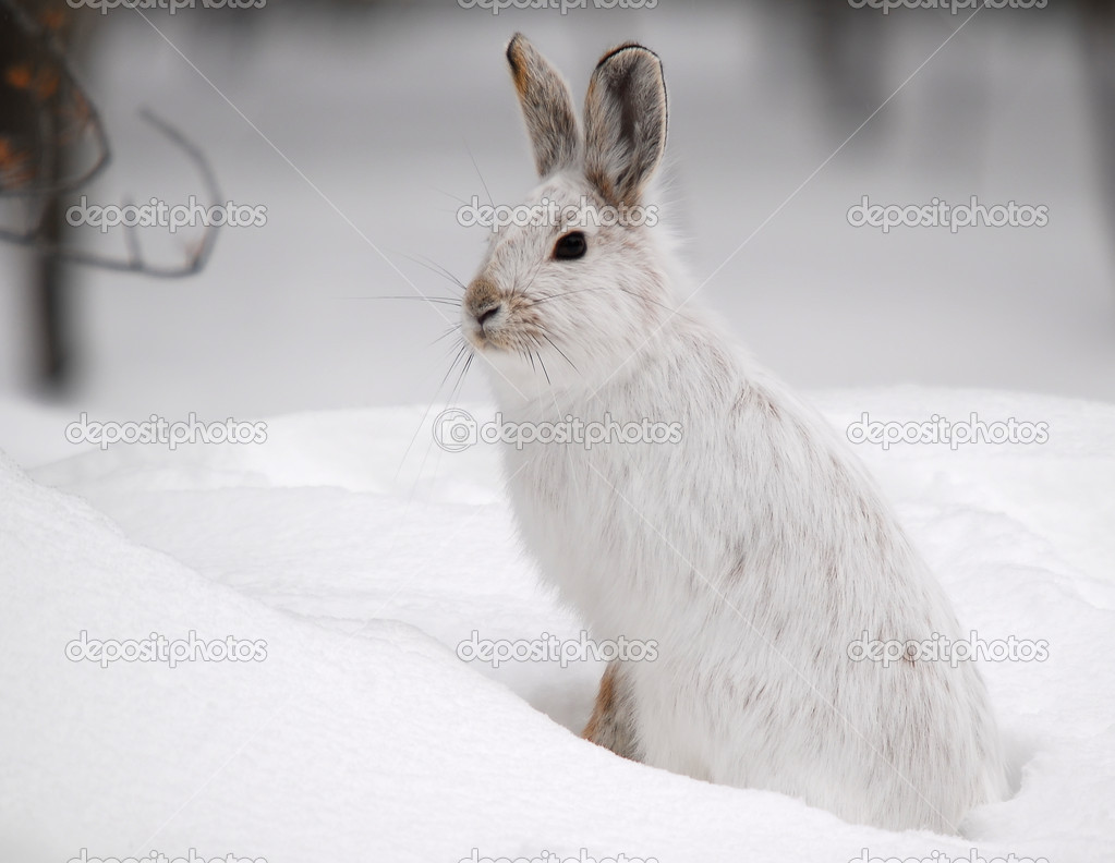 A white Snowshoe Hare in Winter  Stock Photo #2459275