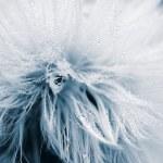 Soft and wet dandelion (Taraxacum) — Stock Photo #2492192