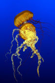 Sea Nettles (Chrysaora quinquecirrha) — Stock Photo