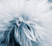 Soft and wet dandelion (Taraxacum) — Stock Photo
