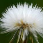 Soft and wet dandelion (Taraxacum) — Stock Photo #2524130