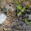Spruce Grouse — Stock Photo