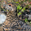 Stock Photo: Spruce Grouse