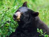 Black Bear — Stock Photo