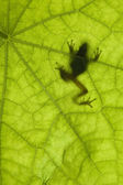 Frog Silhouette — Stock Photo