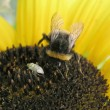 Beetle and bee on sunflower — Stock Photo