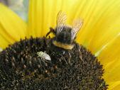 Besouro e abelhas do girassol — Foto Stock