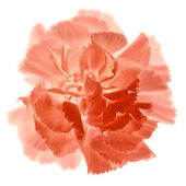 Carnation — Stock Photo