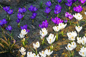 Beautiful white and lilac crocus — Stock Photo