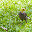 A common myna with shaved head - Foto Stock