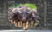 Group of cows and buffalos — Stock Photo