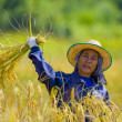 Stock Photo: Woman cutting rice