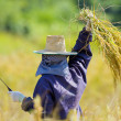 Cutting rice in the fields — Stock Photo