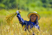 Woman cutting rice — Stock Photo