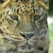 Stock Photo: Leopard 01