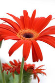 Gerbera 02 — Stock Photo